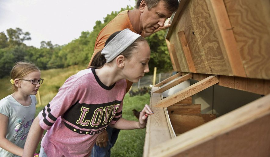 ADVANCE EXCHANGE FOR RELEASE SATURDAY, JULY 22, 2017, AT 3:01 A.M. EDT. AND THEREAFTER. In this Thursday, July 6, 2017 photo, Madison Mowery, 11, peeks into the side of a chicken coop with her father, Robert Mowery, as Hailey Mowery, 10, watches from behind at their Moon Township, Pa. farm. While no eggs were found that morning, the family is hoping the chickens eventually produce enough eggs to sell at local farmers markets. June coyote attacks that killed at least 50 chickens set back their original plan to begin selling eggs as early as June. (Anna Spoerre/Pittsburgh Post-Gazette via AP)