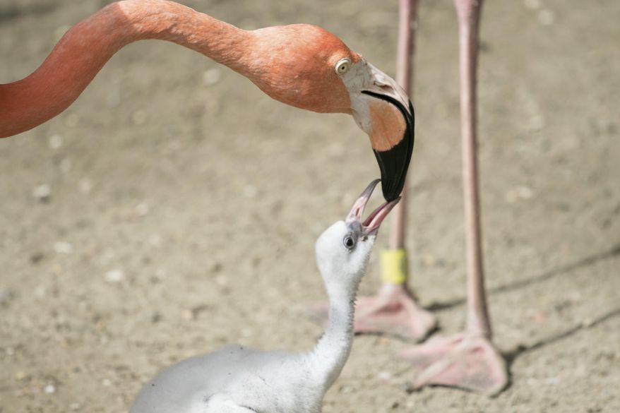 In this July 14, 2017, photo, a flamingo chick bites an adult one's beak at the Audubon Zoo in New Orleans. The fuzzy flamingo chick is running around after its parents in New Orleans' zoo, and the Audubon Zoo's curator of birds says it's a very precocious critter. (Audubon Nature Institute via AP)