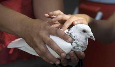 ADVANCE FOR SATURDAY, JULY 22 AND THEREAFTER - In this Tuesday, July 11, 2017, photo, a young rafter with Rocky Mountain Adventures takes the opportunity to pet one of the shop's homing pigeons before heading up the canyon to raft the Cache La Poudre River at Rocky Mountain Adventures in Fort Collins, Colo. (Timothy Hurst/Fort Collins Coloradoan via AP)/The Coloradoan via AP)