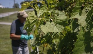 ADVANCE FOR SATURDAY JULY 22 AND THEREAFTER - In a Friday, July 14, 2017 photo, winemaker John Barber of White Oak Cellar sprays grape vines to control a mass of Japanese beetles at the Iowa state fairgrounds in Des Moines. The pests are invading the state in numbers few Iowans have experienced before. The beetles can devastate a vineyard if not controlled. (Bryon Houlgrave/The Des Moines Register via AP)