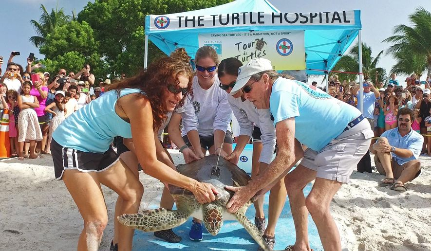"""In this photo provided by the Florida Keys News Bureau, Bette Zirkelbach, left, and Richie Moretti, right, of the Florida Keys-based Turtle Hospital, and other people begin to release """"Argus,"""" a juvenile green sea turtle, Friday, July 21, 2017, at Sombrero Beach in Marathon, Fla. The rehabilitated turtle is one of 20 satellite-tagged reptiles that are to be tracked online during the Tour de Turtles, a three-month race beginning Aug. 1, organized by the Sea Turtle Conservancy. (Bob Care/Florida Keys News Bureau via AP)"""