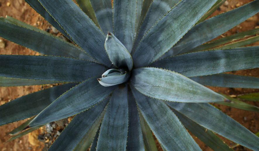 """A 3 year-old """"blue agave"""" plant, the prime material for the production of Tequila,  is seen at a Casa Cuervo agave field Tuesday, Oct. 5, 2004, near the town of Tequila, Mexico. (AP Photo/Guillermo Arias)"""