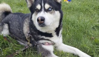 In this photo provided by the Waterville Humane Society, Dakota the Alaskan husky lies on the ground at the society's shelter on Tuesday, July 24, 2017, in Waterville, Maine.  A judge on Monday agreed to a deal to send Dakota to a veterinary hospital for training after it attacked two other dogs, killing one.  A judge had ordered that Dakota be put down after the attacks last year. Republican Gov. Paul LePage attempted to pardon Dakota in March, elevating the dog to celebrity status.  (Karen Knowlton/Waterville Human Society via AP)