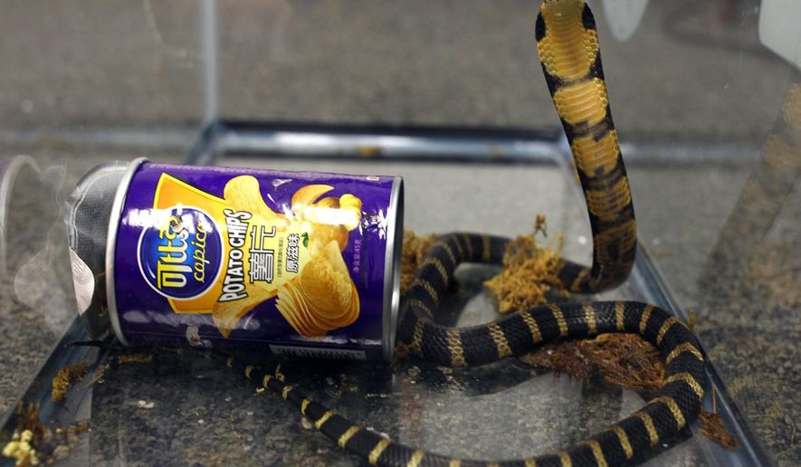 This undated photo provided by U.S. Fish and Wildlife shows a king cobra hidden in a potato chip can that was found in the mail in Los Angeles. Prosecutors say Customs and Border Protection officers found three live king cobra snakes while inspecting a package that was mailed from Hong Kong in March, 2017. Rodrigo Franco was charged Tuesday, July 25, 2017, with illegally importing merchandise. (U.S. Fish and Wildlife via AP)