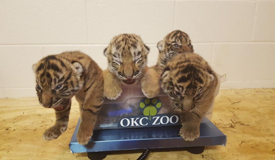In this photo provided by the Oklahoma City Zoo, three Sumatran tiger cubs are pictured with Amur tiger cub Zoya, second from left, on a scale, Saturday, July 23, 2017. Zoya, who was being hand-raised at the Philadelphia Zoo, was transferred to Oklahoma City in an attempt to cross-foster Zoya with the Oklahoma City Zoo's Sumatran tiger Lola and her three cubs, who were born one day before Zoya. (Gretchen Cole, Oklahoma City Zoo, via AP).