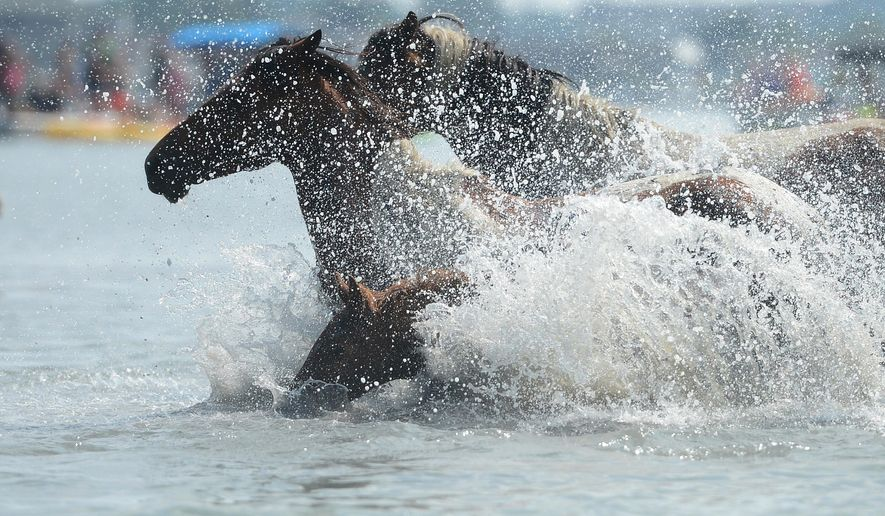 "FILE - In this Wednesday, July 27, 2016, file photo, Chincoteague Ponies hit the water for the 91st annual Chincoteague Pony Swim across Assateague Channel during the annual swim from Assateague Island to Chincoteague Island, Va. The 92 annual Chincoteague pony penning is set for Wednesday, July 26, 2017. Organizers said the wild ponies of Assateague Island will swim across to Chincoteague sometime between 6 a.m. and 8 a.m. The event draws thousands of tourists each year and was memorialized in Marguerite Henry's novel ""Misty of Chincoteague."" (Jay Diem/The Daily Times via AP, File)"