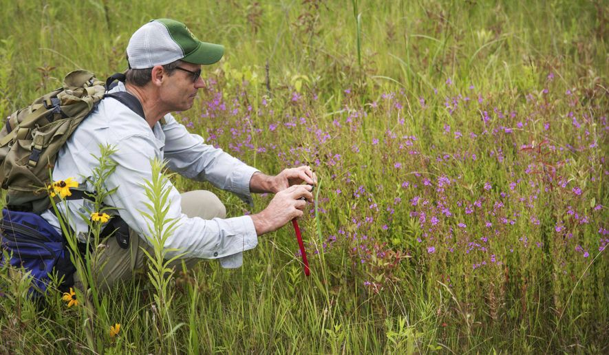 In this Friday, July 14, 2017 photo released by the Vermont Fish & Wildlife Department, state botanist Everett Marshall documents the extent of winged loosestrife at Raven Ridge Natural Area in Monkton, Vt., for the state's Natural Heritage Inventory. Winged loosestrife is making a comeback in Vermont where it had not been seen for decades and was thought to be locally extinct. (Tom Rogers/Vermont Fish & Wildlife Department via AP)