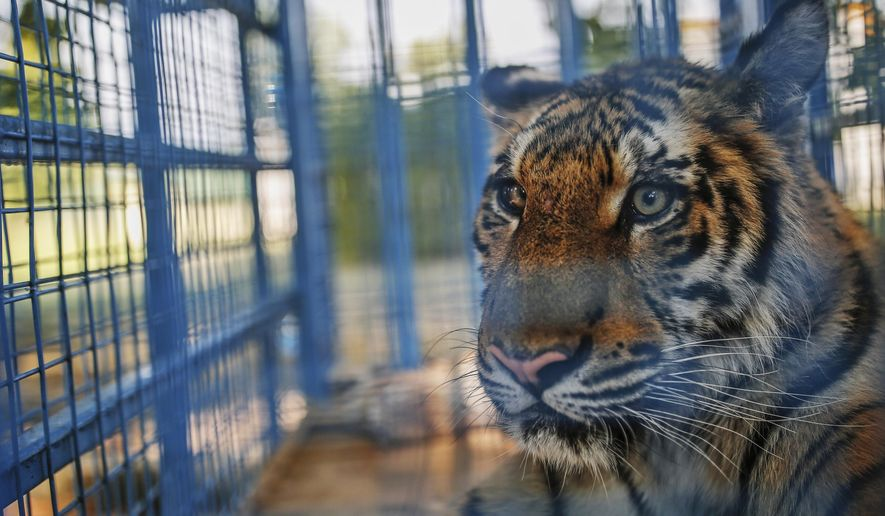 In this Wednesday, July 26, 2017 photo, a tiger rescued from an amusement park near the embattled city of Aleppo, Syria, sits on its cage to receive medical treatment from health care members of the Four Paws organisation, in Bursa, northwestern Turkey. Austria-based Four Paws evacuated nine animals total, two bears, three lions, two hyenas and two tigers which all survived intense clashes on Syria's civil war around the Aleppo region. (AP Photo/Emrah Gurel)