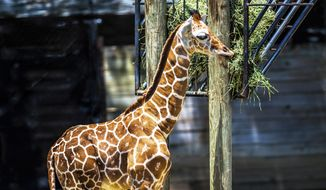 This June 25, 2017, handout photo released Monday, July 31, 2017, by the Dallas Zoo shows shows a male reticulated giraffe named Beltre, in honor of Texas Rangers' Adrian Beltre reaching 3,000 hits. (Fort Worth Zoo via AP)