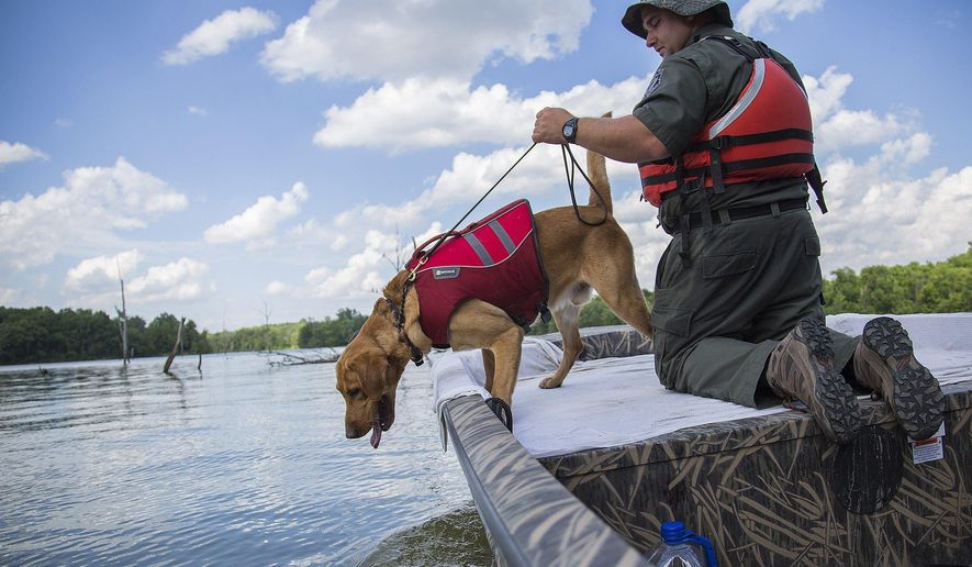 In a June 21, 2017 photo, Jason LaGore guides his 2-year-old labrador retriever, Sarge, to search for human remains during a training session at Caesar Creek State Park in Waynesville, Ohio. During these training sessions, the dog is rewarded with a toy for successfully finding the remains which LaGore planted in the lake. LaGore's dogs and training methods have proven to be a useful tool in the search for drowning victims throughout the state. (Adam Cairns/The Columbus Dispatch via AP)