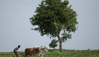 FILE- In this July 22, 2017 file photo, an Indian farmer uses a pair of bulls to plough a vegetable field on the outskirts of Hyderabad, India. Researchers report a link between crop-damaging temperatures and suicide rates in India, where more than 130,000 farmers end their lives every year. (AP Photo/Mahesh Kumar A, file)