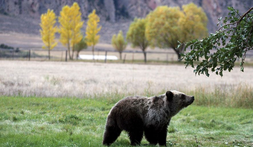 FILE - In this Sept. 25, 2013, file photo, a grizzly bear cub searches for fallen fruit beneath an apple tree a few miles from the north entrance to Yellowstone National Park in Gardiner, Mont. For the second time in a decade, the U.S. government has removed grizzly bears in the Yellowstone region from the threatened species list. The decision by the U.S. Fish and Wildlife Service to remove federal protections from the approximately 700 bears living across 19,000 square miles in Montana, Idaho and Wyoming took effect Monday, July 31, 2017.  (Alan Rogers/The Casper Star-Tribune via AP, file)