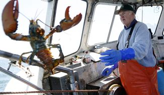 FILE - In this April 27, 2016, file photo, Richard Sawyer, Jr., tosses back an undersized lobster while fishing on Long Island Sound off Groton, Conn. A vote is expected Tuesday, Aug. 1, 2017, by the Atlantic States Marine Fisheries Commission on a plan to try to slow the decline of southern New England's lobster population with new fishing restrictions. (AP Photo/Robert F. Bukaty, File)