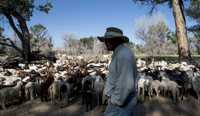 ADVANCE FOR WEDNESDAY AUG. 2, 2017 AND THEREAFTER - In this July 10, 2017 photo, Peruvian Elvis Garcia watches over 450 nanny goats and their kids that have been employed to help control invasive species of weeds at the Yellowtail Wildlife Management area south of the Bighorn Canyon National Recreation Area near Lovell, Wyo. Out in the heat, amongst rattlesnakes and more skeeters than most people can stand, a Peruvian man named Elvis and his constant companion, a Welsh collie named Pepsi, tend to 450 nannies and their kids (Mark Davis/The Powell Tribune via AP)