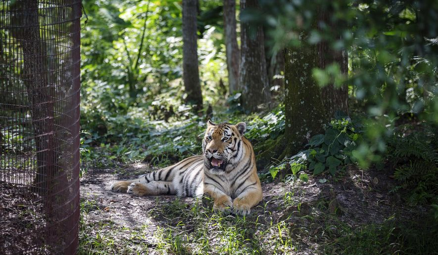 ADVANCE FOR USE SATURDAY. AUG 5 - In this July 20, 2017 photo, a tiger named Seth rests above a pond at Big Cat Rescue in Tampa, Fla. Big Cat Rescue is a nonprofit sanctuary committed to humane treatment of rescued animals, often coming from exploitive for-profit operations. (Loren Elliott/Tampa Bay Times via AP)