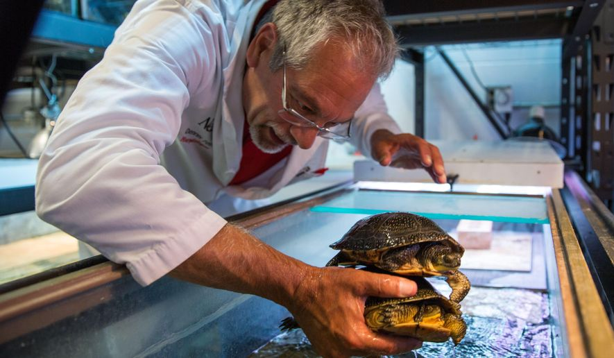 ADVANCED FOR RELEASE SATURDAY, AUGUST 5, 2017 Herpetologist Dennis Ferraro looks at two Blanding's turtles in his lab Wednesday, July 5, 2017, in Lincoln, Neb. (Matt Dixon/The World-Herald via AP)