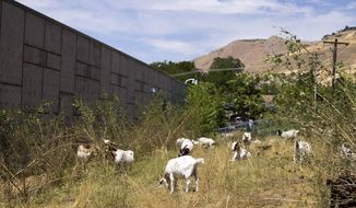 In this Friday, July 28, 2017 photo, goats eat overgrowth of cheat grass and shrubbery on hillside at Washington Elementary School in Salt Lake City. The herd of goats, from 4 Leaf Ranch in Kamas, is providing governmental entities as an alternative to mowing and herbicides to get rid of grass on steep hillsides. (Laura Seitz/The Deseret News via AP)