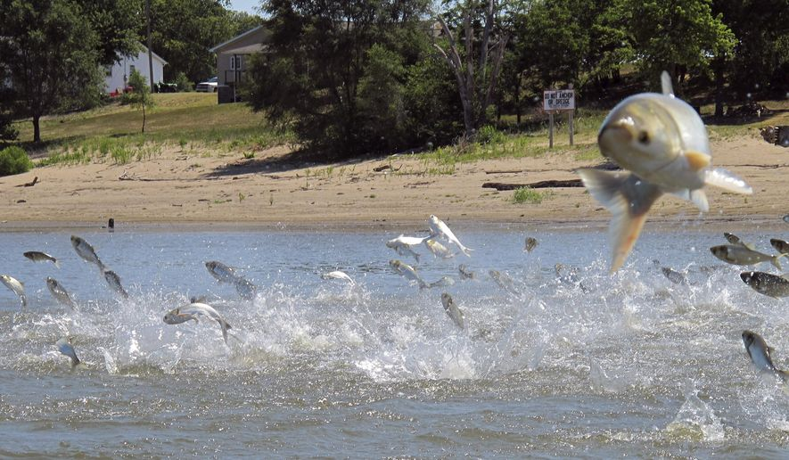 FILE - In this June 13, 2012 file photo, Asian carp, jolted by an electric current from a research boat, jump from the Illinois River near Havana, Ill. The U.S. Army Corps of Engineers is preparing to release a draft report expected out Monday, Aug. 7, 2017, on possible measures at a crucial site in Illinois that could prevent invasive Asian carp from reaching Lake Michigan. AP Photo/John Flesher, File)