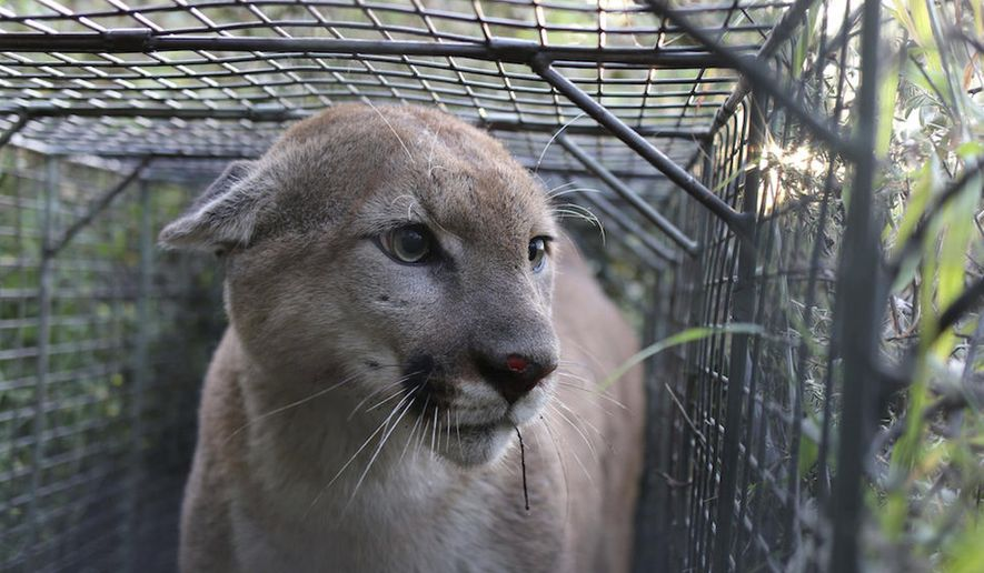 In this April 4, 2017, photo released by the National Park Service shows P-55, a young male Mountain lion that roams the western end of the Santa Monica Mountains in Calif. He was caught and outfitted with a GPS tracking device in April 2017, a few days before P-56 in the same spot. DNA analysis is underway, but they are suspected of being siblings. Biologists documented a rare case of P-55, a cougar from a mountain range hemmed in by metropolitan Los Angeles sprawl, that successfully crossing heavily traveled U.S. 101 and taking up residence in another range, the National Park Service said Monday, Aug. 7, 2017. It's only the fourth documented successful crossing of the 101 by a Santa Monica Mountains lion in 15 years of study. (National Park Service via AP)