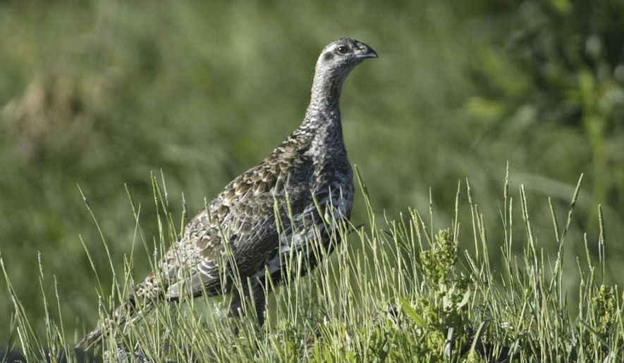 FILE - In this July 25, 2005 file photo, a sage grouse is seen near Fallon, Nev. Interior Secretary Ryan Zinke says a new federal plan to protect the threatened sage grouse will better align with conservation efforts in 11 Western states where the bird lives.  (AP Photo/Cathleen Allison, File)