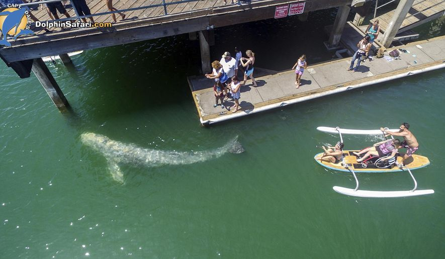 This aerial photo provided by DolphinSafari.com shows a baby gray whale in Dana Point Harbor, seen during Captain Dave's Dolphin and Whale Watching Safari in Dana Point, Calif., Tuesday, Aug. 8, 2017. The whale, about 15 to 18 feet long, swam into a shallow children's area called Baby Beach and circled a pier. Kayakers were able to get within a few feet of the animal, which at one point swam under paddle boarders. (Domenic Biagini/DolphinSafari.com via AP)