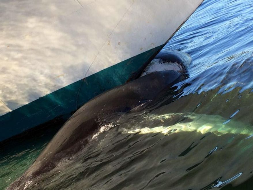 This Aug. 9, 2017, photo provided by NOAA Office of Law Enforcement shows a dead humpback whale on the bow of the Grand Princess cruise ship in Ketchikan, Alaska. Authorities said they found the whale on the submerged, bulbous bow of the Grand Princess after it entered the harbor in Ketchikan, near the southern tip of the Alaska Panhandle. (Fred Burk/NOAA Office of Law Enforcement via AP)