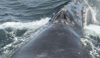 In this Aug. 6, 2017, photo provided by NOAA Fisheries, a North Pacific right whale swims in the Bering Sea west of Bristol Bay. Jessica Crance, a research biologist with the National Oceanic and Atmospheric Administration, was able to use acoustic equipment to find and photograph two of the extremely endangered whales and obtain a biopsy sample from one. NOAA estimates only 30 to 50 eastern stock North Pacific right whales still remain. (NOAA Fisheries via AP)