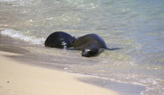 """FILE - This Aug. 8, 2017 file photo shows a Hawaiian monk seal pup, left, and her mother resting on a Waikiki beach in Honolulu. The pup, which has been named Kaimana, has been left by his mother. That has led officials to believe the pup was weaned and could be relocated in a few days. State Department of Land and Natural Resources Dan Dennison says the mother's departure may mean the pup is weaned """"but it's too soon to know for sure."""" (AP Photo/Audrey McAvoy, File)"""