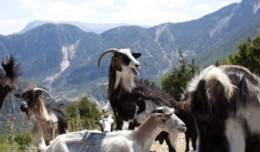 In this Tuesday, July 18, 2017, goats are seen in the village of Nivica, southern Albania. An ambitious project is aiming to open up remote villages in the highlands of southern Albania to the outside world and to tourists wanting to discover the spectacular natural beauty and rural way of life of the more isolated parts of the Balkan country. (AP Photo/Geo Delveroudis)