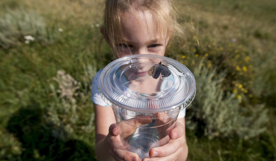 In this Saturday, Aug. 6, 2017 photo, Mindi Oechsner, of Powell, Wyo., admires a wood nymph butterfly, one of several she caught while volunteering for the Park County butterfly count to collect data for the North American Butterfly Association along the Chief Joseph Highway in rural Park County, Wyo. With nets in hand, more than a dozen area residents could be seen trying their hand at capturing the beautiful insects. (Mark Davis/The Powell Tribune via AP)