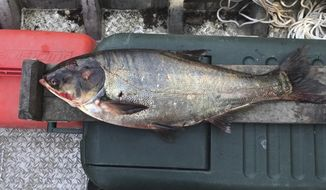 FILE- This June 22, 2017, file photo provided by the Illinois Department of Natural Resources shows a silver carp that was caught in the Illinois Waterway below T.J. O'Brien Lock and Dam, approximately nine miles away from Lake Michigan. The Asian Carp Regional Coordinating Committee says an autopsy shows the 4-year-old male silver carp originated in the Illinois/Middle Mississippi watershed. That would suggest the carp somehow evaded three electric barriers 37 miles from the lake. (Illinois Department of Natural Resources via AP, File)