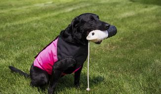 Labrador retriever Cruiser model the pink and black version of Mark Meyocks' vest in Selah, Wash., Monday, Aug. 7, 2017. Orvis will sell his vest in its catalogue and online in time for the fall hunting season.  (Shawn Gust/Yakima Herald-Republic via AP)