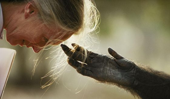A photograph by Michael Nichols shows Jane Goodall interacting with a primate.  (National Geographic)