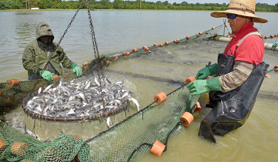 U.S. catfish producers have been burdened by inspection rules meant to chase away foreign imports, but watchdog groups call it an example of the government wasting millions on duplicative inspections meant to shore up fisheries from cheaper competition from Asian markets. (Associated Press)