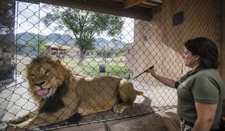 In this July 17, 2017 photo, Stephanie Natt trains the lion, Baron, to handle injections at Utah's Hogle Zoo in Salt Lake City.  The training requires two keepers, one to give treats and the other uses a fake injection syringe so that the animal associates it with a treat.   (Kelsey Brunner/The Deseret News via AP)
