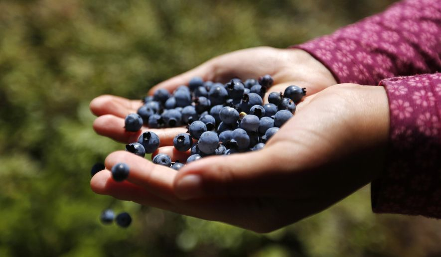In this Aug. 7, 2017 photo a girl holds a handful of wild blueberries picked near Sherman, Maine. The state's blueberry crop is way down this year due to weather and a scale back of farming. Maine is one of the biggest blueberry producers in the country, and the only producer of wild blueberries. (AP Photo/Robert F. Bukaty)