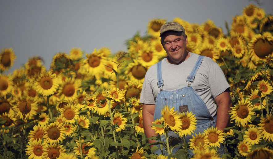 In this Aug. 9, 2017 photo Russ Grollemond, farm manager at Barrington Hills Farm stands  in one of two sunflower fields located in Barrington Hills, Ill. In addition to providing a vibrant visual along the village's country lanes, these fifty acres of sun-worshipping plants play a practical role in the conversion of the nearly 700-acre the farm to transfer it to purely organic. Among the criteria for organic certification is the soil must be found to be chemical-free, and sunflowers are among the species that can help expedite that process, experts say. (Mark Welsh/Daily Herald, via AP)