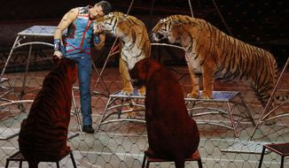 FILE - In this Sunday, May 21, 2017 file photo, big cat trainer Alexander Lacey hugs one of the tigers during the final show of the Ringling Bros. and Barnum & Bailey Circus in Uniondale, N.Y. On Wednesday, Sept. 6, 2017, officials said a Bengal tiger owned by Lacey was shot and killed after it escaped from a truck in Georgia on its way from Florida to Tennessee. (AP Photo/Julie Jacobson)
