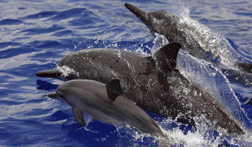 This undated photo provided by NOAA Fisheries shows Spinner dolphins in Hawaii. A judge in Hawaii has found a tour operator violated federal law by repeatedly dropping swimmers in front of dolphins and encircling the animals with his tour boat. (NOAA Fisheries via AP)