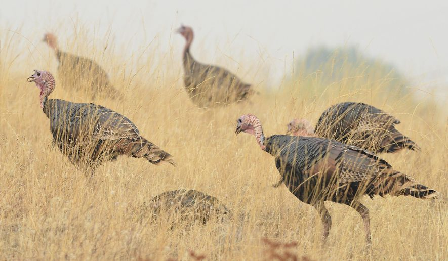 In this Tuesday, Sept. 5, 2017 photo, wild turkeys forage in a field  in Pilot Rock, Ore. Pilot Rock City Council has asked the Oregon Department of Fish and Wildlife for recommendations on how it should handle a flock of wild turkeys that have been ruining residents' gardens and leaving behind droppings. (E.J. Harris/The East Oregonian via AP)