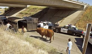 FILE - In this July 3, 2007 file photo, a loose bull is led to a livestock trailer just off Interstate 505 after it escaped from a pasture near Vacaville, Calif., and was corralled by California Highway Patrol and civilian vehicles. If you are a commuter, Southern California freeways are your nightmare. If you happen to be a deer or a raccoon, the highways of Northern California are worse. A study released Thursday, Sept. 7, 2017 by the University of California, Davis identified the state highways where collisions and near-misses with animals are the biggest problem. (Rick Roach/Vacaville Reporter via AP, File)