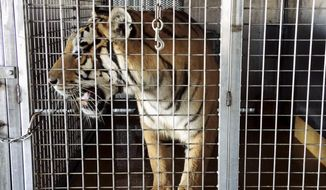 This photo provided by the Arkansas Game and Fish Commission shows a tiger in a cage Monday, Sept. 11, 2017, at a barn near Weiner, Ark. The agency is investigating the discovery of multiple big cats at the location on Saturday, Sept. 9, that authorities suspect were going to shipped to Germany. (Arkansas Game and Fish Commission via AP)