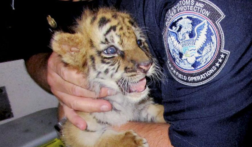 File - This Wednesday, Aug. 23, 2017, file photo provided by U.S. Customs and Border Protection shows an agent holding a male tiger cub that was confiscated at the U.S. border crossing at Otay Mesa southeast of downtown San Diego. The Bengal tiger cub that a California teenager bought on the streets of Tijuana and was seized when he tried to bring it into the United States has a new playmate at the San Diego Zoo Safari Park. A Sumatran tiger cub was flown from the National Zoo in Washington, D.C. on Monday, Sept. 11, 2017, to join the other cub. (U.S. Customs and Border Protection via AP, File)