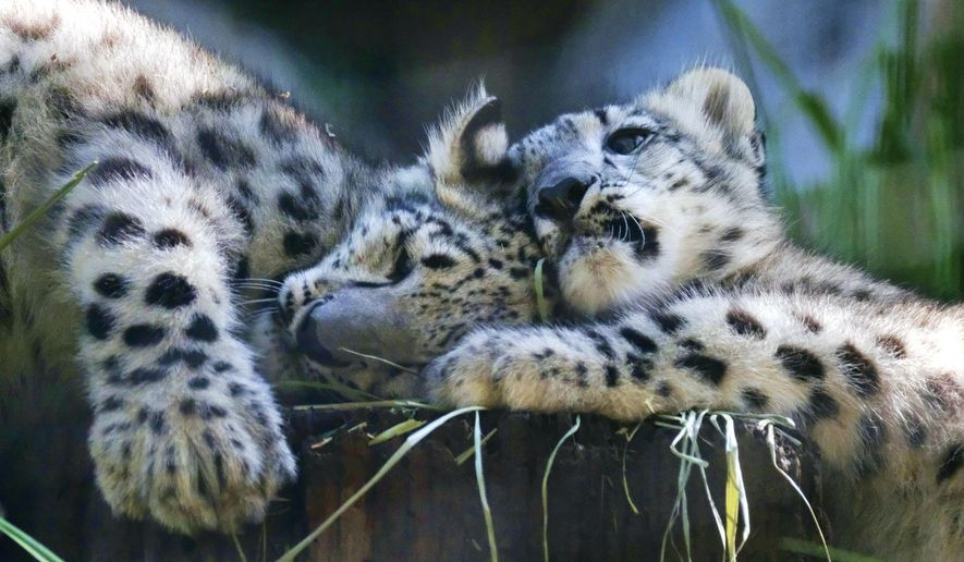 Two endangered snow leopard cubs play in their enclosure at the Los Angeles Zoo on Tuesday, Sept. 12, 2017. Brother and sister snow leopard kittens romped and rough-housed as they made their public debut Tuesday. The fuzzy siblings, born in May, explored their outdoor habitat as their mother Georgina and zoo visitors looked on. (AP Photo/Richard Vogel)