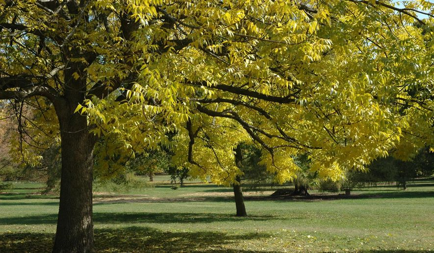 This undated photo provided by the Morton Arboretum in September 2012 shows blue ash trees (Fraxinus quadrangulata). On Thursday, Sept. 14, 2017, the International Union for the Conservation of Nature said five prominent species of ash tree in the eastern U.S. have been driven to the brink of extinction from years of lethal attack by the ash borer beetle. (Morton Arboretum via AP)