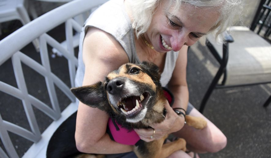 Volunteer Myra Kennett, of the rescue group Bobbi and The Strays, plays with Relay at the facility in Freeport, N.Y., Saturday, Sept. 16, 2017. The German shepherd mix went under a backyard fence in West Palm Beach, Fla. in February 2016 and the dog's microchip has been traced back to the owners. The shelter's looking for a volunteer to drive the dog to Florida. (Danielle Finkelstein/Newsday via AP)