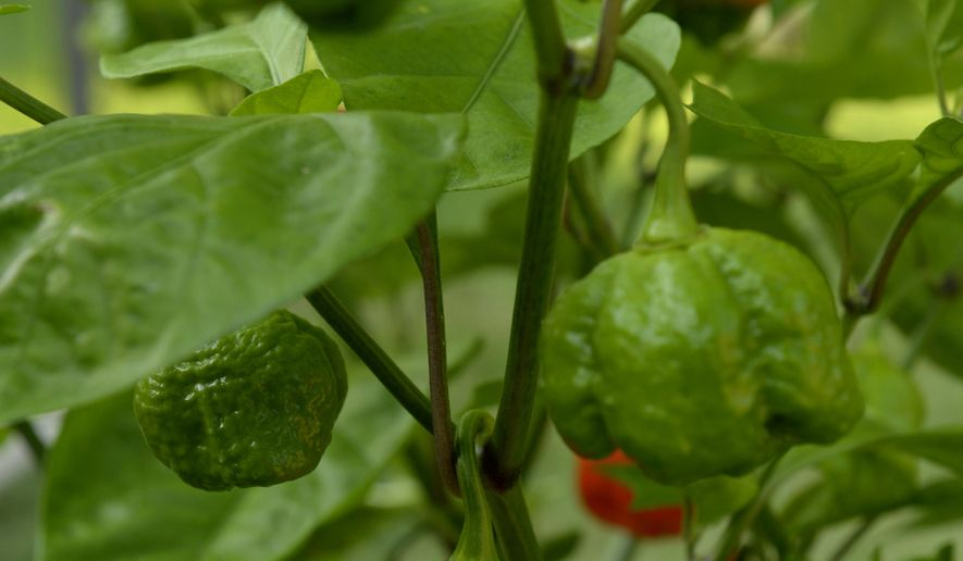 """In this Aug. 30, 2017 photo, Carolina Reaper peppers grown by Brandon Hatley are seen in Norfolk, Neb. The pepper currently holds the title for hottest pepper in the Guinness Book of World Records. A cross between a Ghost pepper and red habanero, the Carolina Reaper is bred for heat. Hatley tells the Norfolk Daily News that he's only tried the Carolina Reaper once and described the experience as """"instant pain and instant regret."""" (Darin Epperly /The Norfolk Daily News via AP)"""