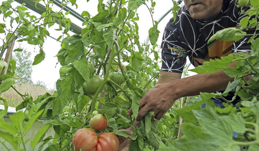 In this Aug. 23, 2017 photo, In this Aug. 23, 2017 photo, David Manuel, who runs the Red Lake Indian Reservation test garden, checks on heritage tomatoes. He says the heritage tomatoes grow much larger thanks to fish gut fertilizer from the Red Lake fishery. (John Enger/Minnesota Public Radio via AP)