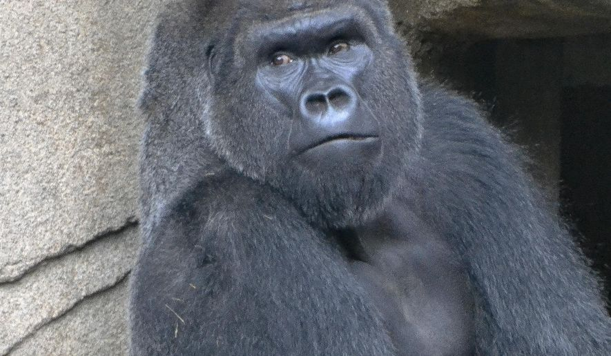 A photo provided by The Cincinatti Zoo shows a 29-year-old western lowland silverback gorilla named Mshindi, who was recently added to the exhibit from the Louisville Zoo. Mshindi is the first gorilla to be added to the exhibit since the 2016 death of Harambe who was killed after a boy climbed into his enclosure. (Michele Curley/Cincinnati Zoo via AP)