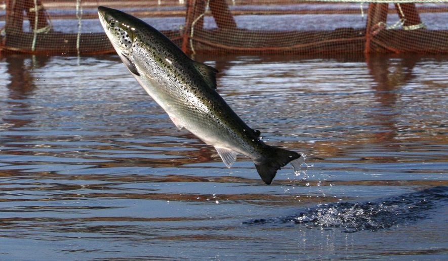 FILE - In this Oct. 11, 2008 file photo, an Atlantic salmon leaps in a Cooke Aquaculture farm pen near Eastport, Maine. A surge of parasitic sea lice is disrupting salmon farms around the world, infesting salmon farms in the U.S., Canada, Scotland, Norway and Chile. (AP Photo/Robert F. Bukaty, File)